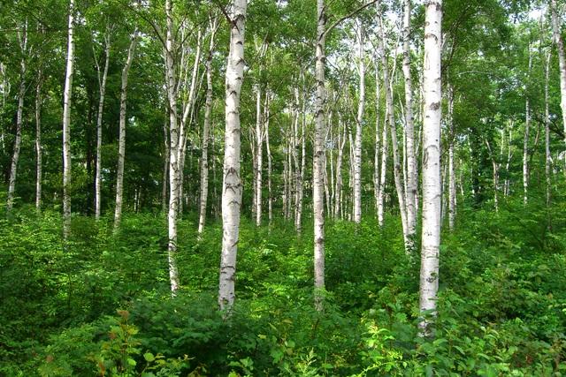 八千穂高原の白樺林