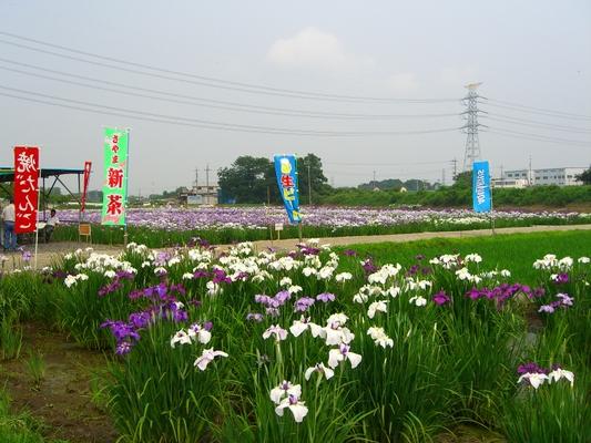 すみよし菖蒲園(埼玉県坂戸市)