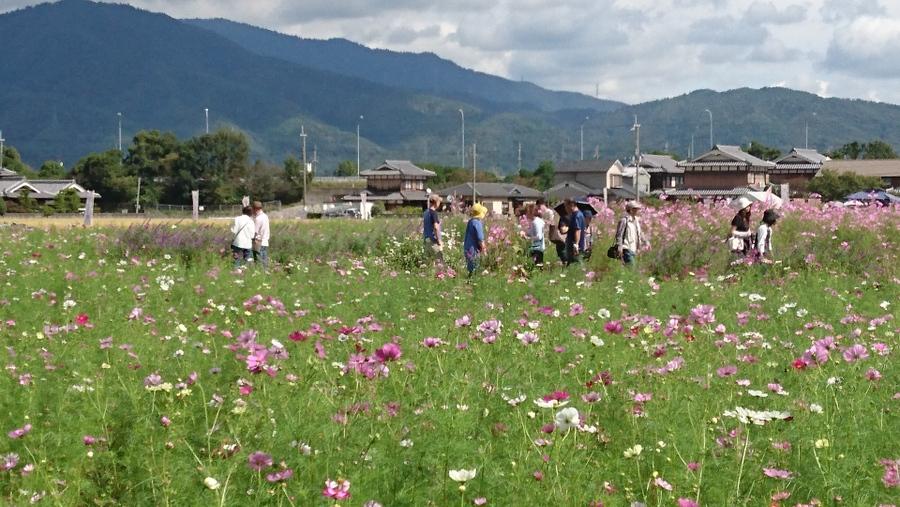 京都丹波/亀岡の「夢コスモス園」