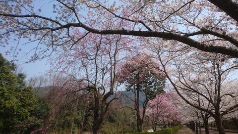 亀岡市さくら公園・七谷川沿いにホボ満開の桜を見物