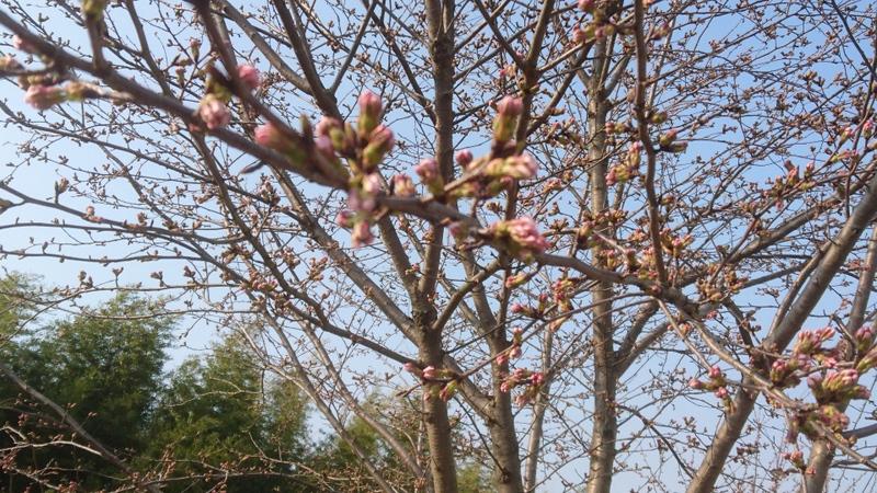 チト早いか?亀岡市(京都府)の桜の満開
