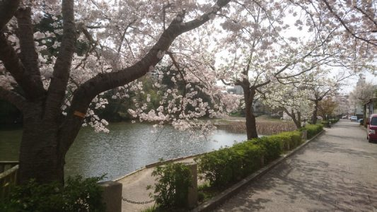 南郷公園(亀岡市)の桜・・・満開