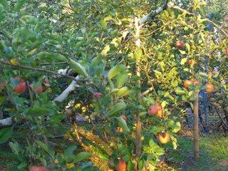此処は何処だったか?長野県須坂市(小布施町近く)周辺に広がるリンゴ畑の道をスーパーカブで走ったことも